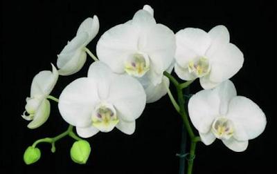 Ciri tumbuhan Anggrek Dan tumbuhan Berpembuluh