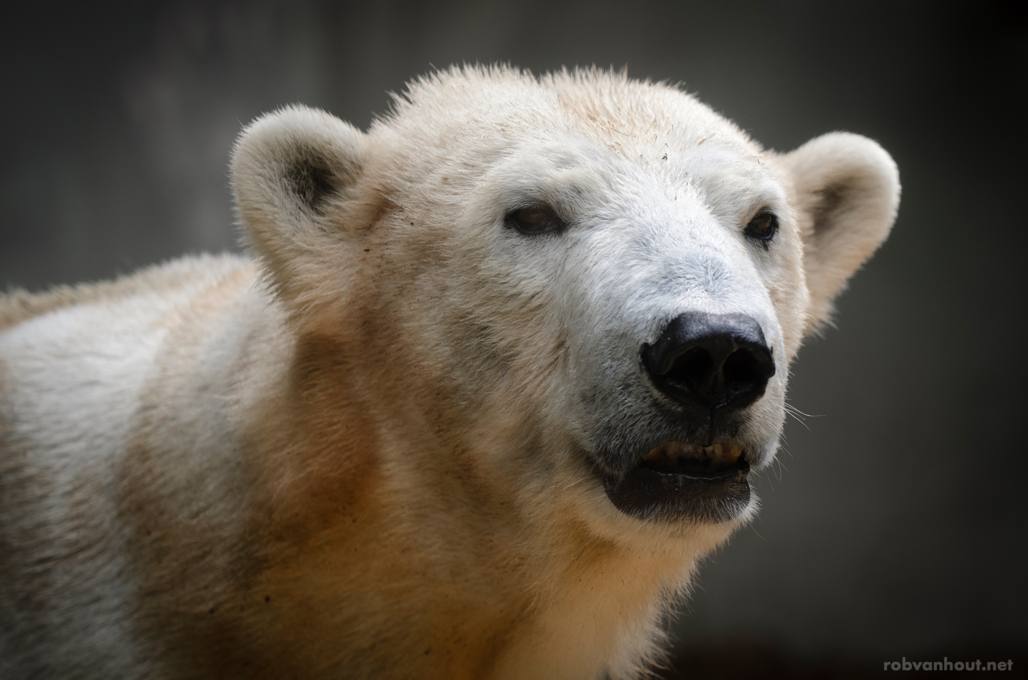 Polar Bear — Wuppertal Zoo