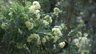 Anthyllis barba-jovis. Arbusto rústico, mediterráneo y costero