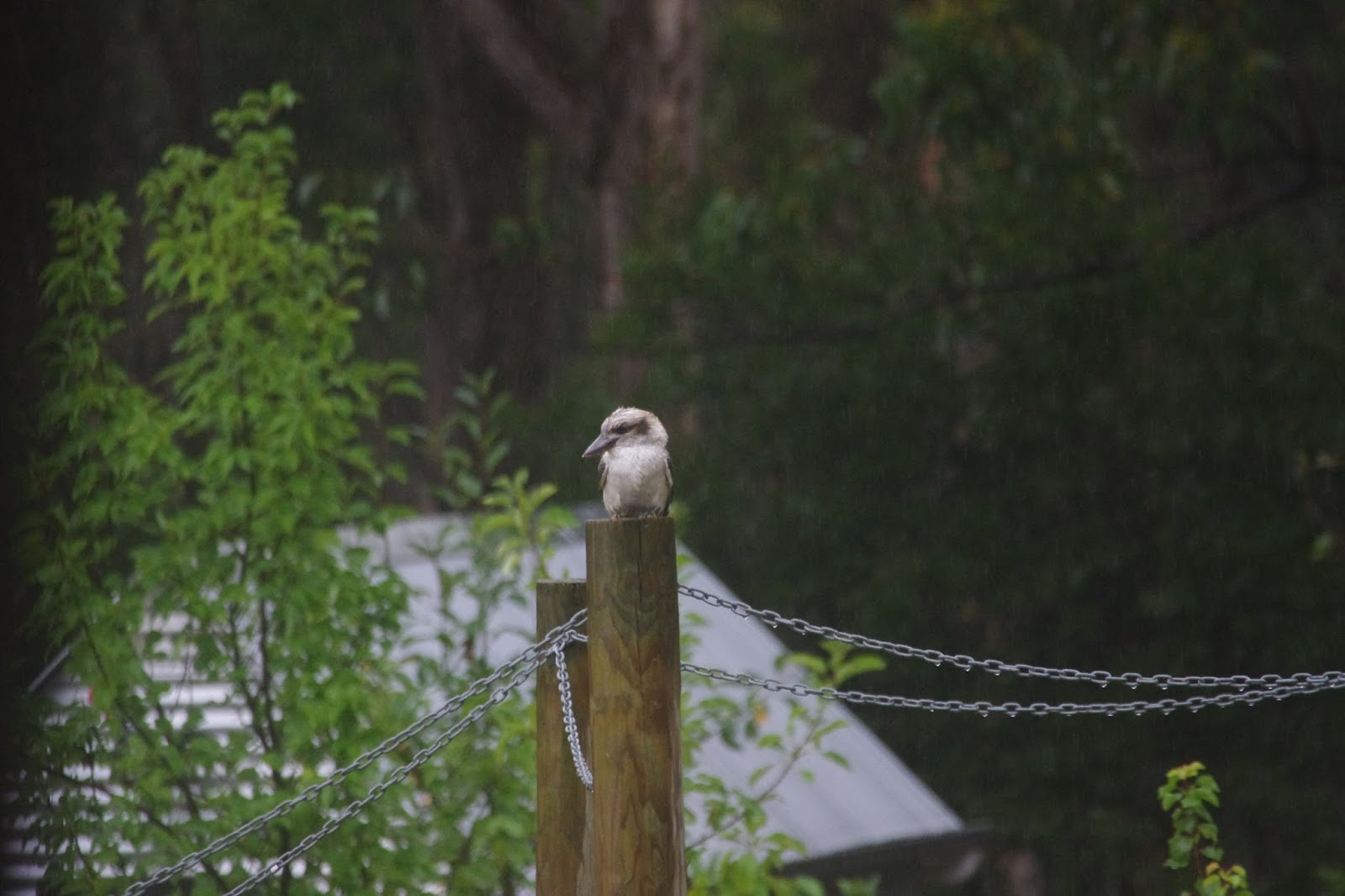 Kookaburra on a vine support post in the rain