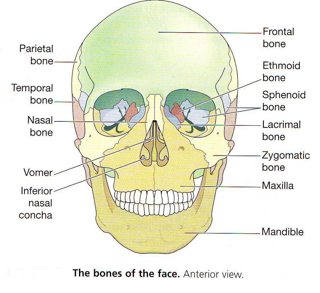 mr scott nguyen anatomy class skeletal system 1 teaching the bones of the head [ 1041 x 953 Pixel ]