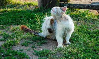 Apa Bahaya Kutu Kucing pada Manusia