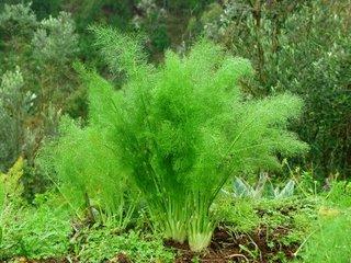 Resultado de imagem para plantas medicinais sedativas