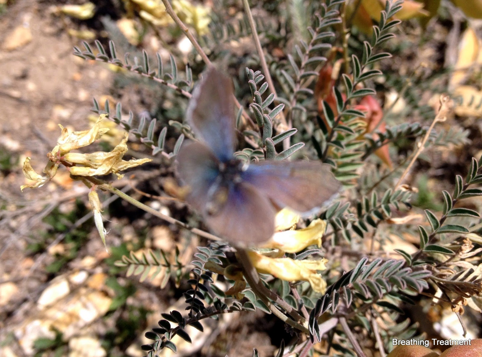 (Rattlepod), the host plant of the Palos Verdes Blue butterfly with PV Blue