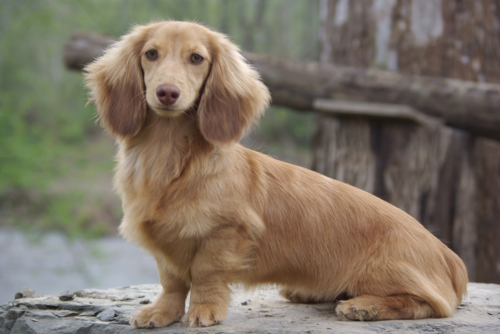 The Gallery For Gt Long Haired Dachshund Blonde Puppies