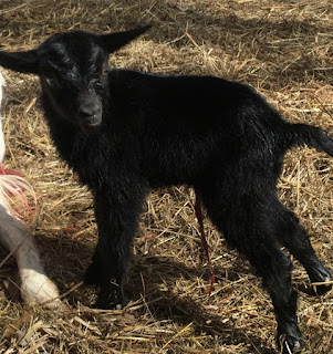 baby goats, birth of a baby goat, Saanen goats,, spring on the homestead, twins