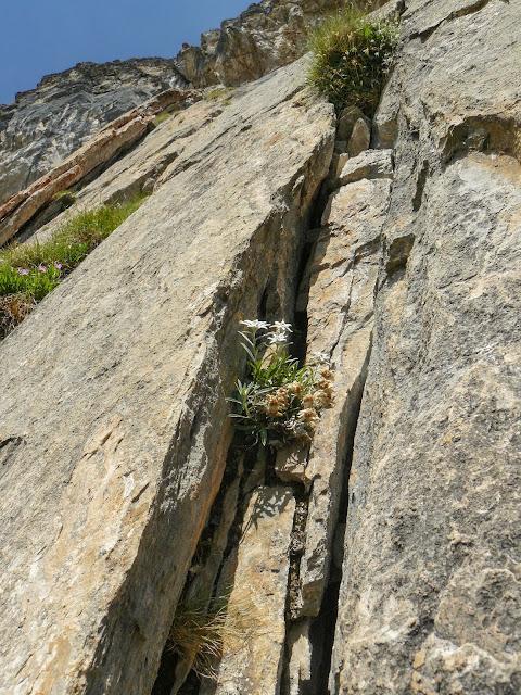 edelweiss am felsen in ischgl - wandern grübelesee tirol - outdoor blog