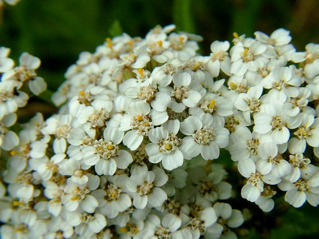 the yarrow flower which is a member of the extensive asteraceae family    Yarrow Flower