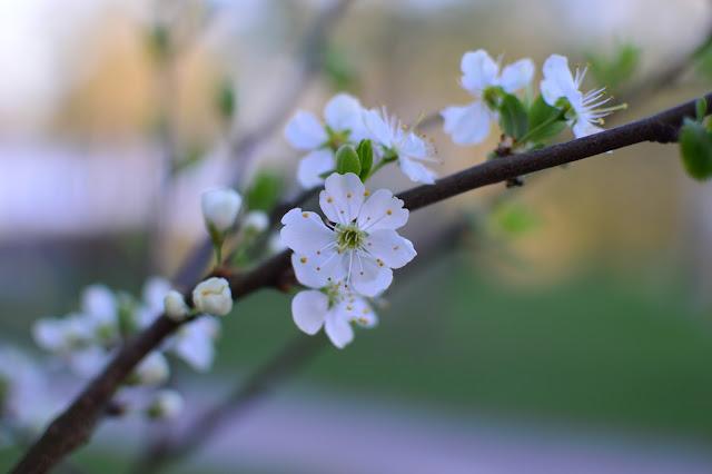 Sinikka-luumu kukkassa
