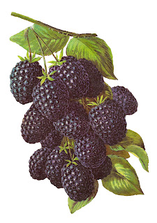 blackberry fruit image digital artwork illustration vintage