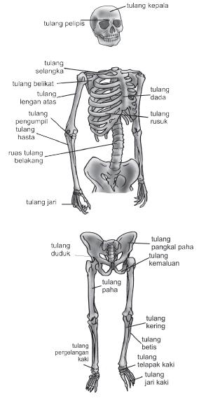 Sistem gerak manusia, fungsi rangka manusia, jenis-jenis tulang, tulang rawan, susunan tulang rawan, macam-macam tulang rawan, jenis tulang rawan, tulang rawan hialin, tulang rawan elastis, tulang rawan fibrosa, tulang keras, bentuk-bentuk tulang keras, pembentukan tulang, pengertian osifikasi, susunan tulang rangka manusia, pengertian artikulasi, dan hubungan antar tulang.