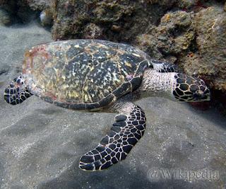 Penyu Sisik (Hawksbill sea turtle)