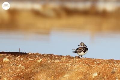 Vuelvepiedras común - Arenaria interpres