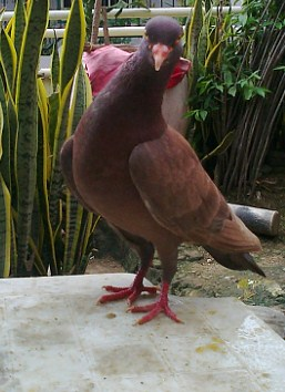 720+  Gambar Burung Merpati Gambir  Paling Bagus
