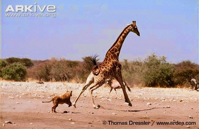Giraffe and lion