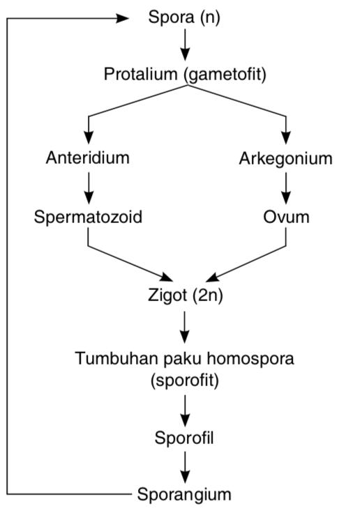 Siklus Tumbuhan Paku : siklus, tumbuhan, Noministnow:, Hidup, Tumbuhan, Heterospora