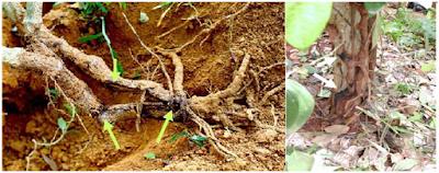 Bệnh thối rễ cây sầu riêng