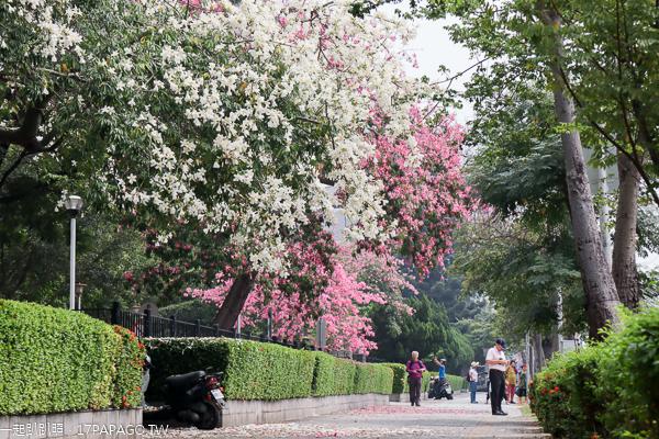 健康公園|台中南區白花美人樹|白色和桃紅色美人花爭奇鬥艷