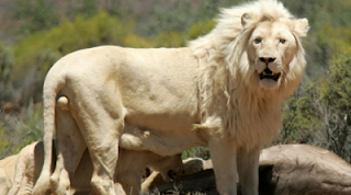Singa Putih, Afrika Selatan