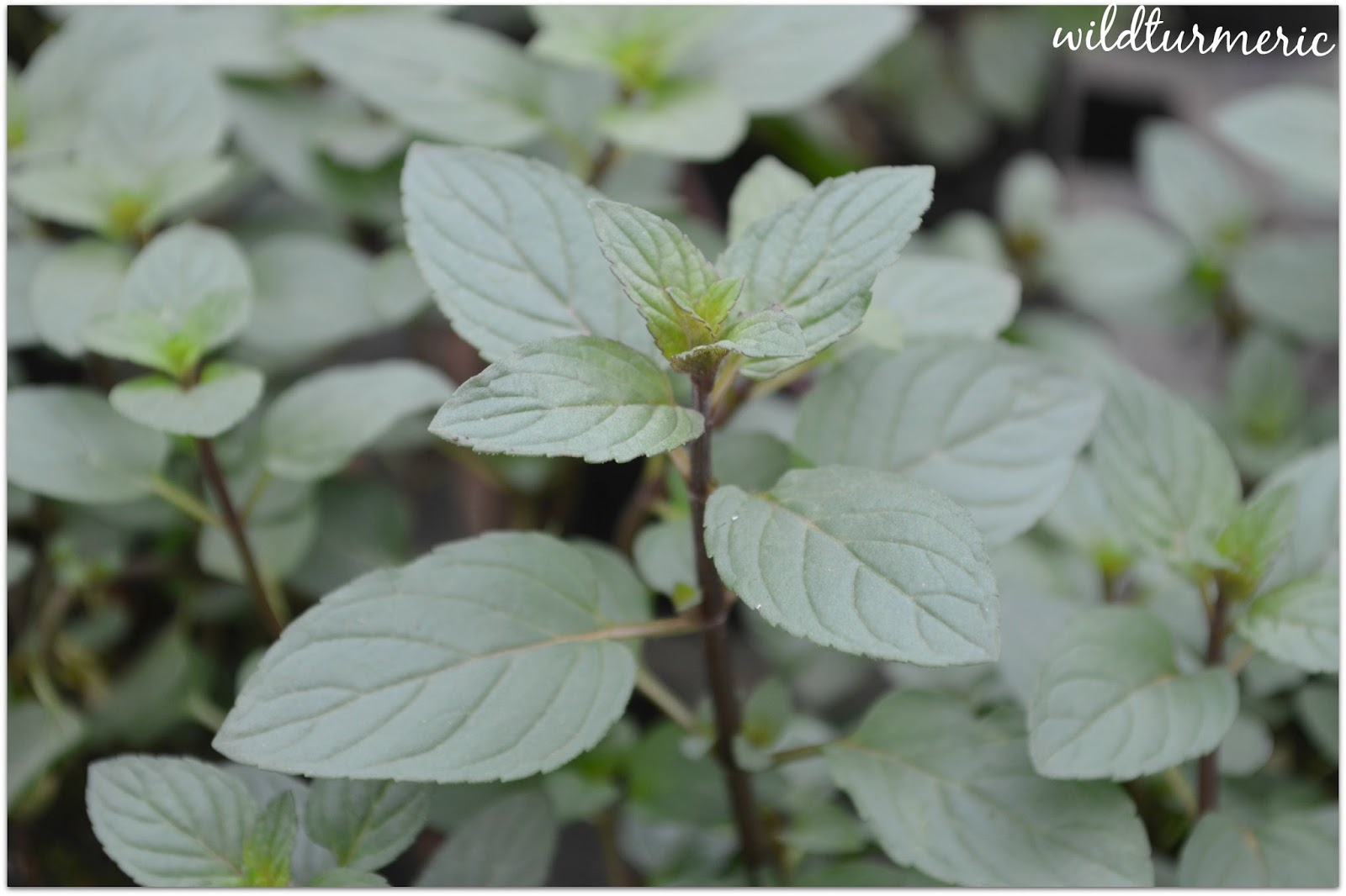 5 Top Medicinal Uses Of Peppermint Mentha Piperita For