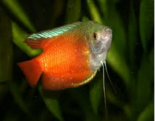 Ikan Hias Gurami Madu (Honey gourami) cantik