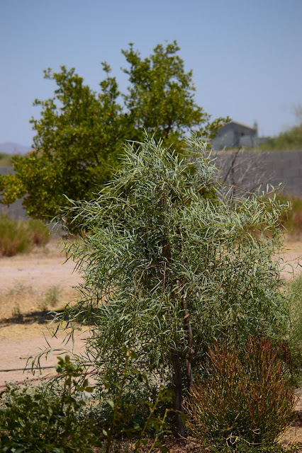 acacia salicina, willow acacia, small sunny garden, desert garden, amy myers, photography, garden bloggers foliage day
