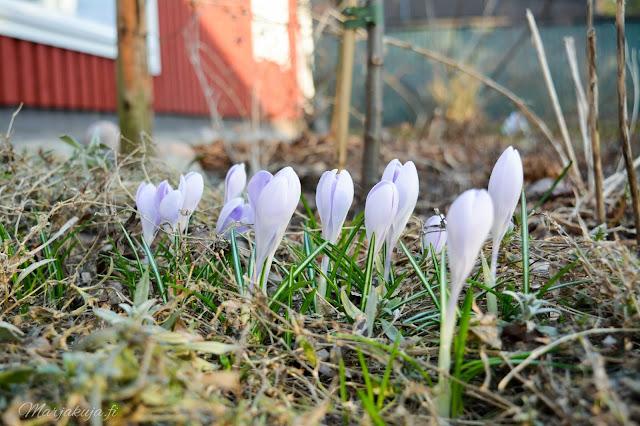 krookukset krookus kevätsahrami kevätkukkijat kevät kukkapenkki sipulikukka