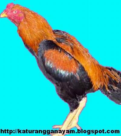Katuranggan Ayam Nama Nama Warna Utama Bulu Ayam Aduan