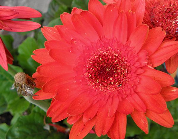 Reddish Gerbera Daisy in Full Bloom