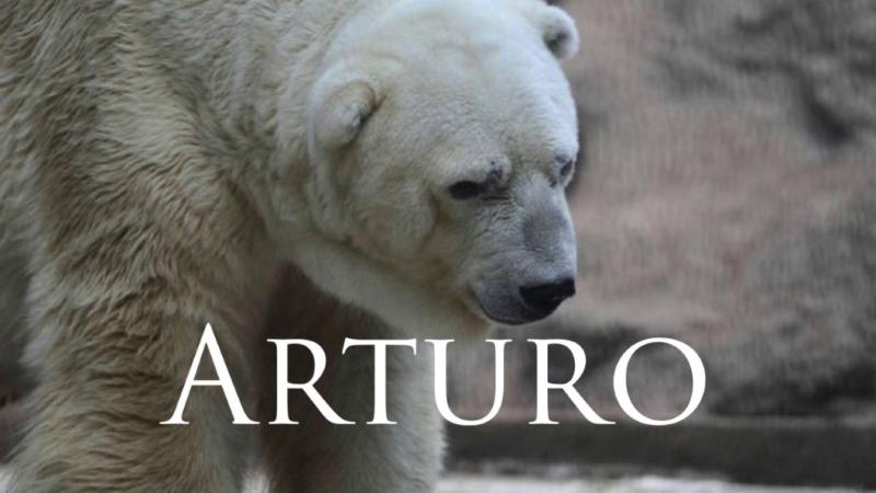 Arturo o urso polar