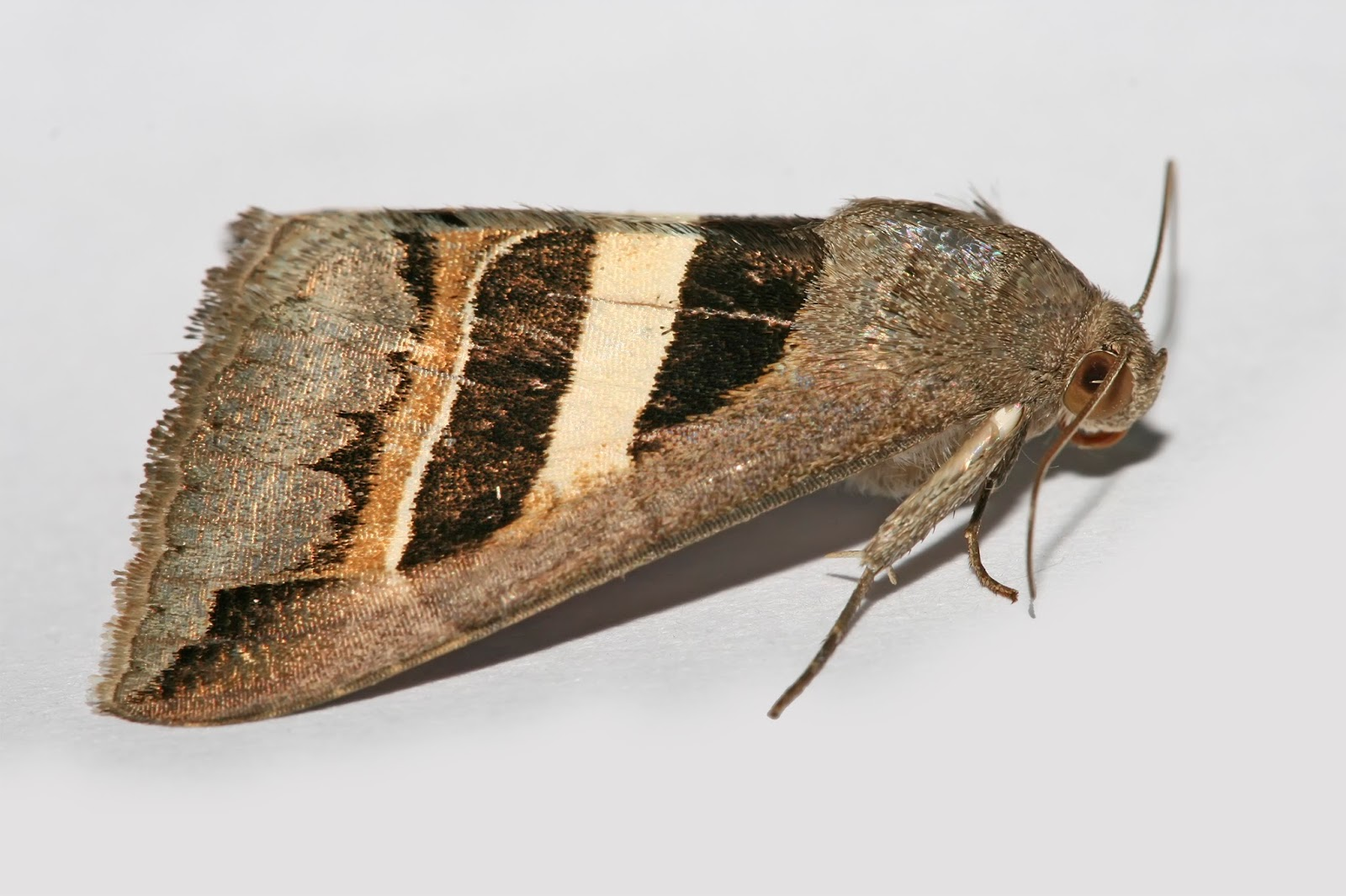 Insects: Grammodes geometrica moth