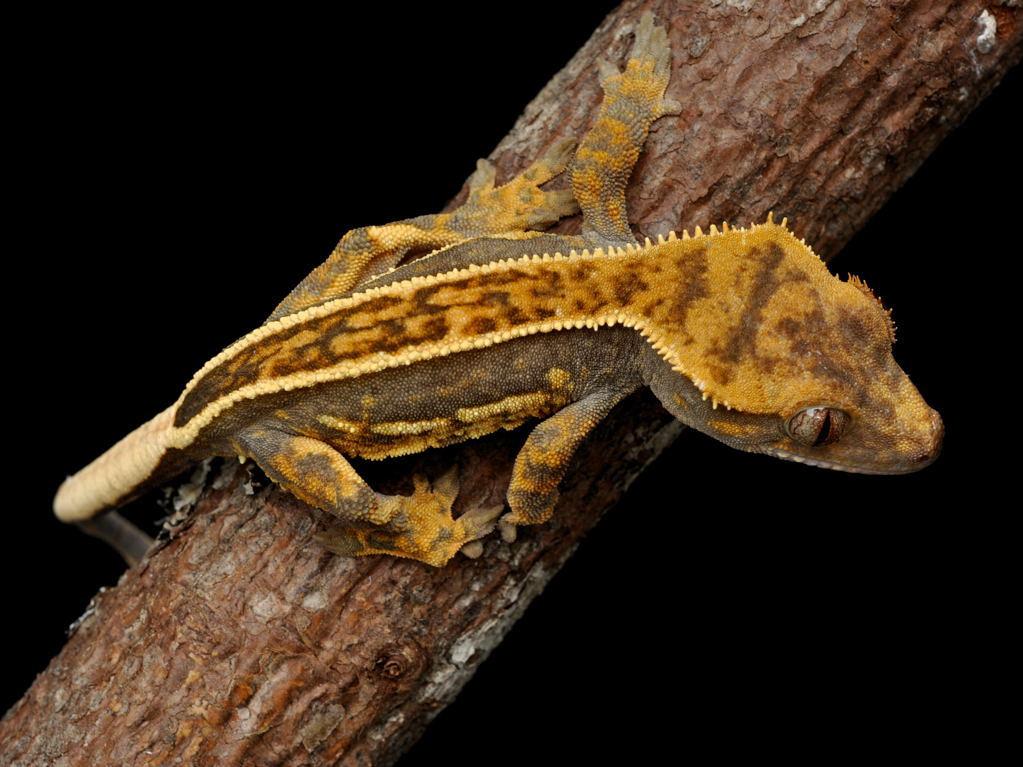 Tee Shirt Clothing Stubborn Crested Gecko Tricks Shirt