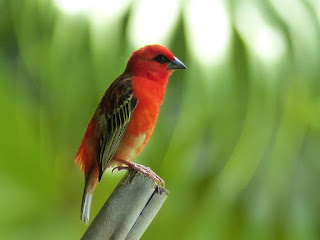 Foudi de Madagascar - Foudi rouge - Cardinal - Kardinal - Foudia madagascariensis