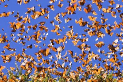 غابة الفراشات، فراشة الملك، عجائب وغرائب الطبيعة