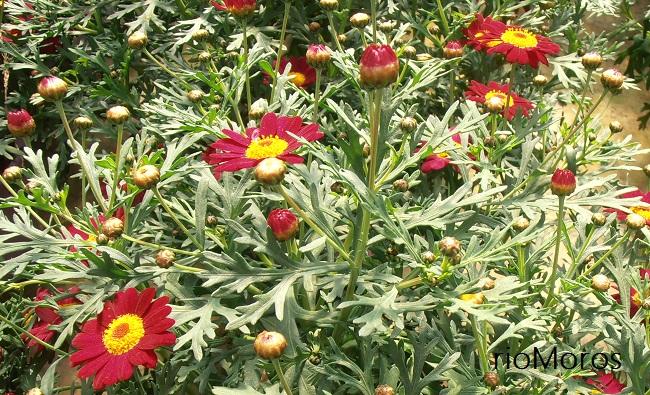 Crisantemos, magarza Argyranthemum frutescens