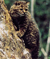 Gato-Chileno (Leopardus guigna)