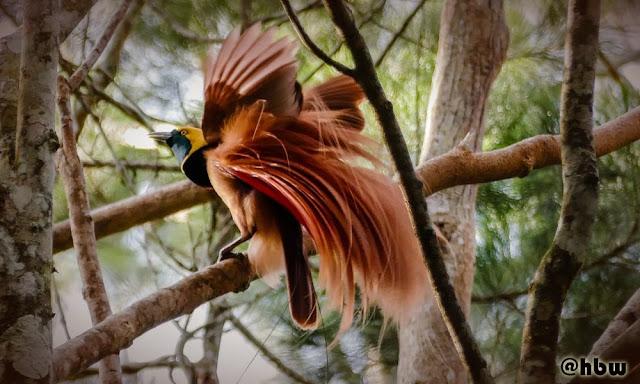 Gambar Burung Cendrawasih Raggiana