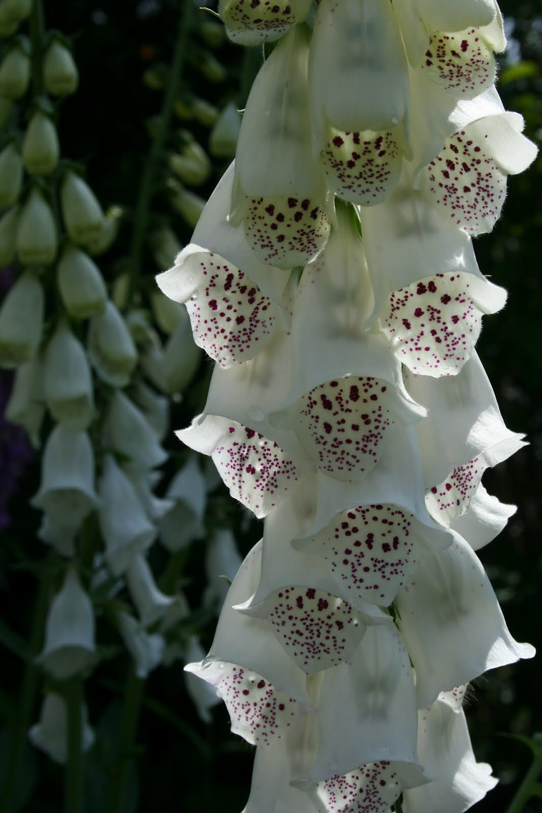 Vit Fingerborgsblomma Digitalis purpurea