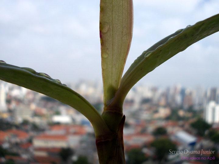 Espata da orquídea Cattleya bicolor