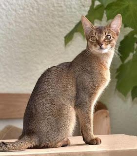 Abyssinian cat