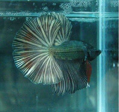 Buntut Dan Warna Ikan Cupang (Dhika Blog)