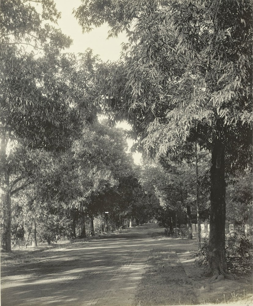 Deodar Avenue in Dilkusha Gardens - Burdwan (Bardhaman), Bengal, 1904