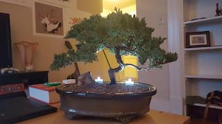 Watering an Indoor Japanese Juniper