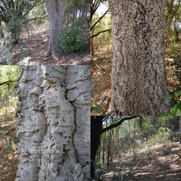 Cork oak forest at Tokara