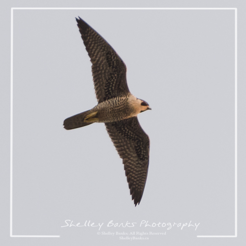 Peregrine Falcon. Copyright © Shelley Banks, all rights reserved