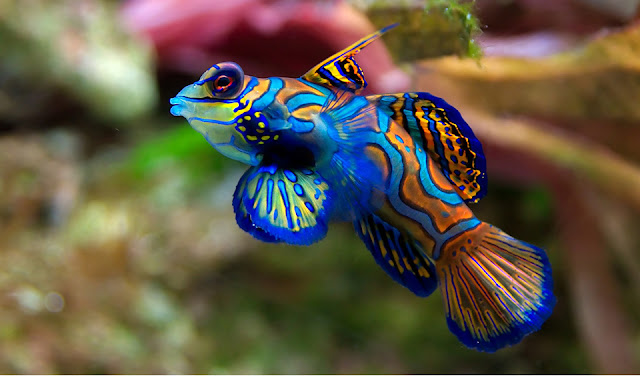 Colorful Mandarin Goby Fish