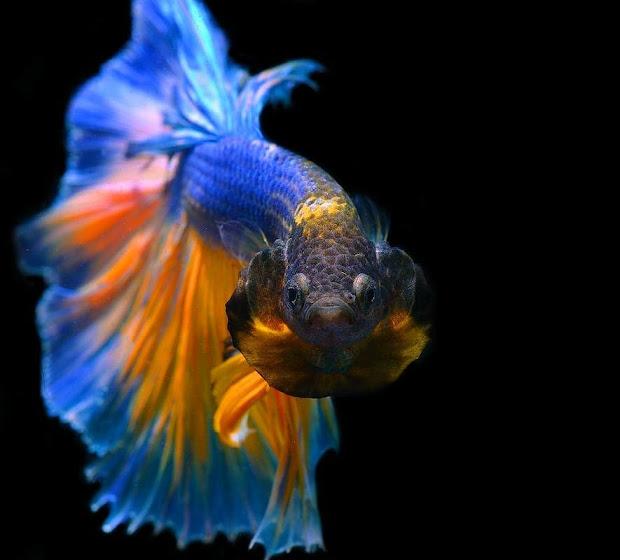 580 Koleksi Gambar Ikan Cupang Wallpaper Gratis