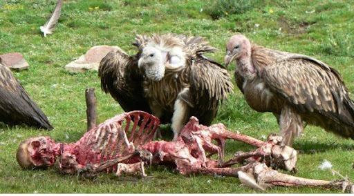 Resultado de imagem para animais carniceiros