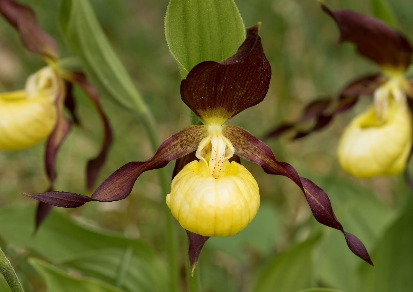 a description of the plant ladys slipper cypripedium Pdf | on jan 1, 2013, monica butnariu ionel samfira and others published lady's slipper orchid (cypripedium calceolus).