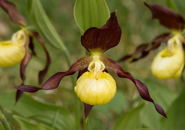Lady's Slipper Orchid - Gait Barrows, Cumbria